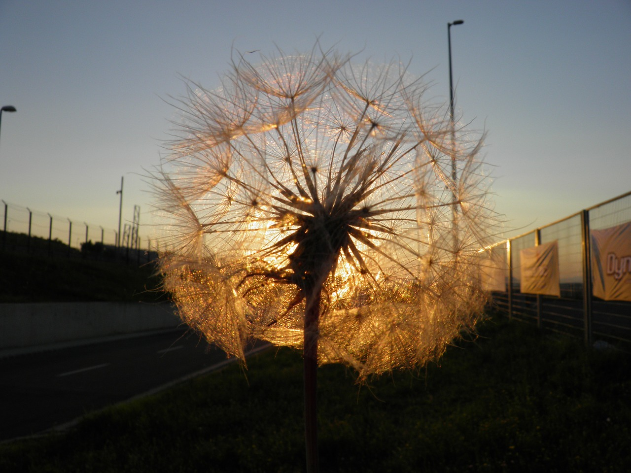 dandelion,sunset,nature,free pictures, free photos, free images, royalty free, free illustrations, public domain