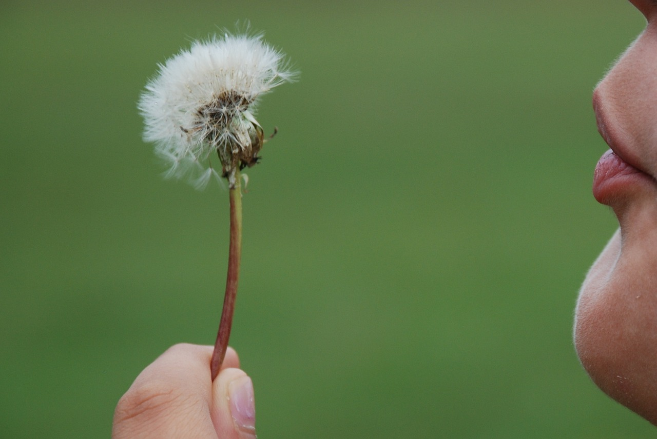 dandelion,hawkbit,flower,plant,nature,sun,hands,symbol,blow,wind,love,free pictures, free photos, free images, royalty free, free illustrations, public domain