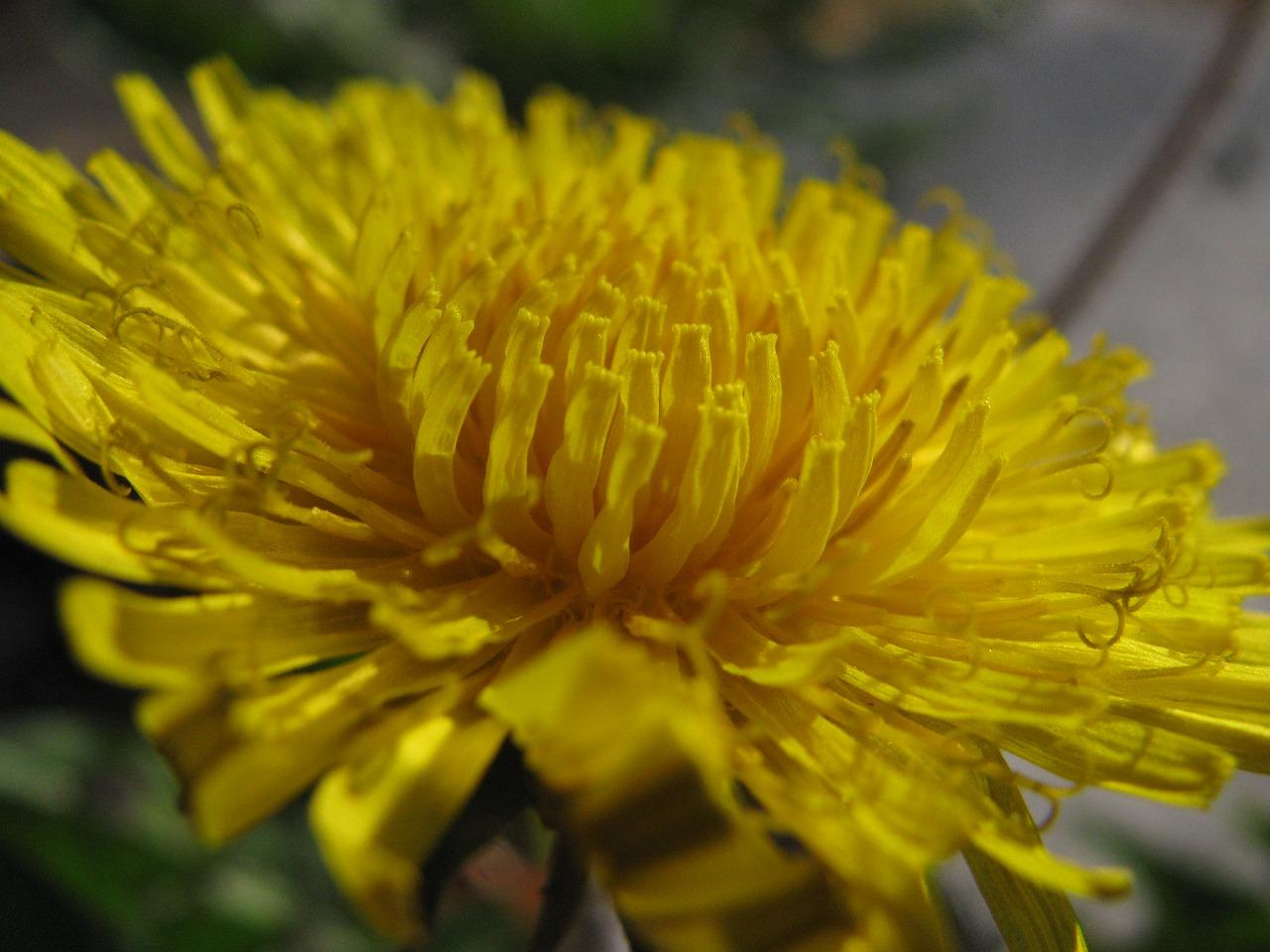 Dandeliontaraxacum Officinaleyellow Flowerweedherb Free Photo
