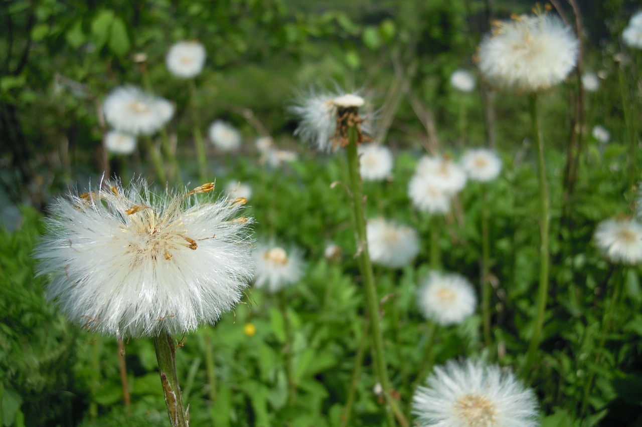 dandelion flower flowers free photo