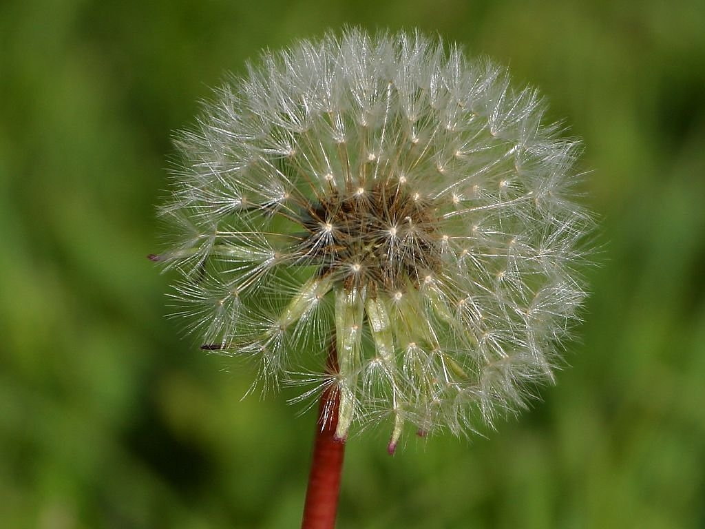dandelion flower nature free photo