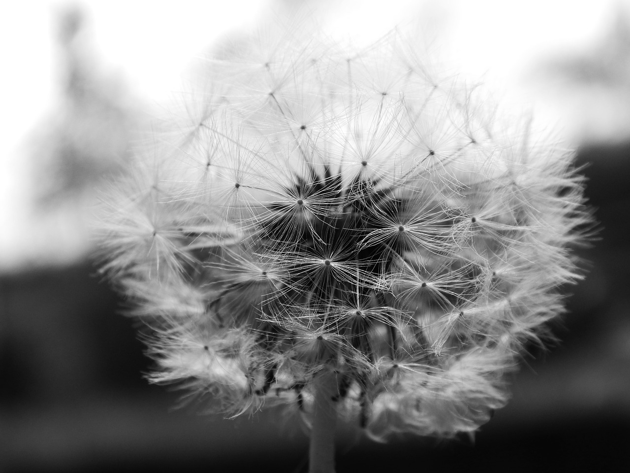 dandelion,dandelions,macro,fluff,spring,free pictures, free photos, free images, royalty free, free illustrations, public domain