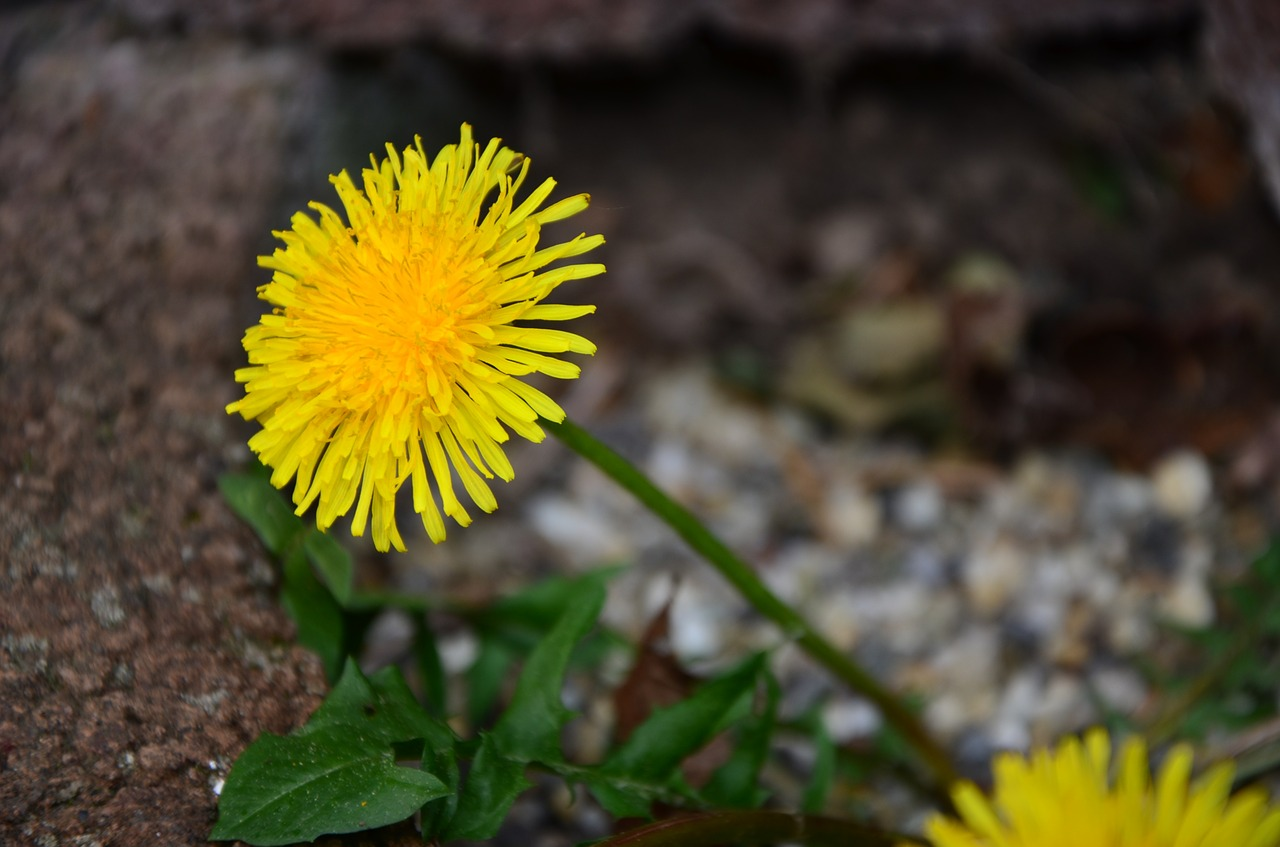 dandelion nature flower free picture
