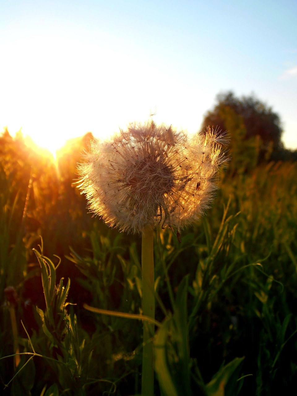 dandelion flower sunset free picture