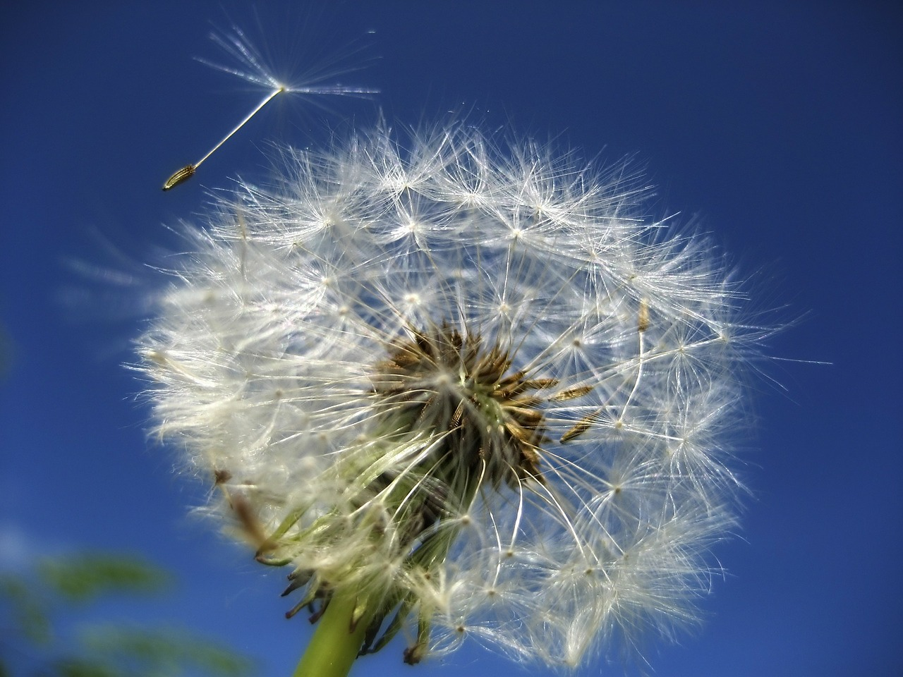 dandelion flower summer free photo