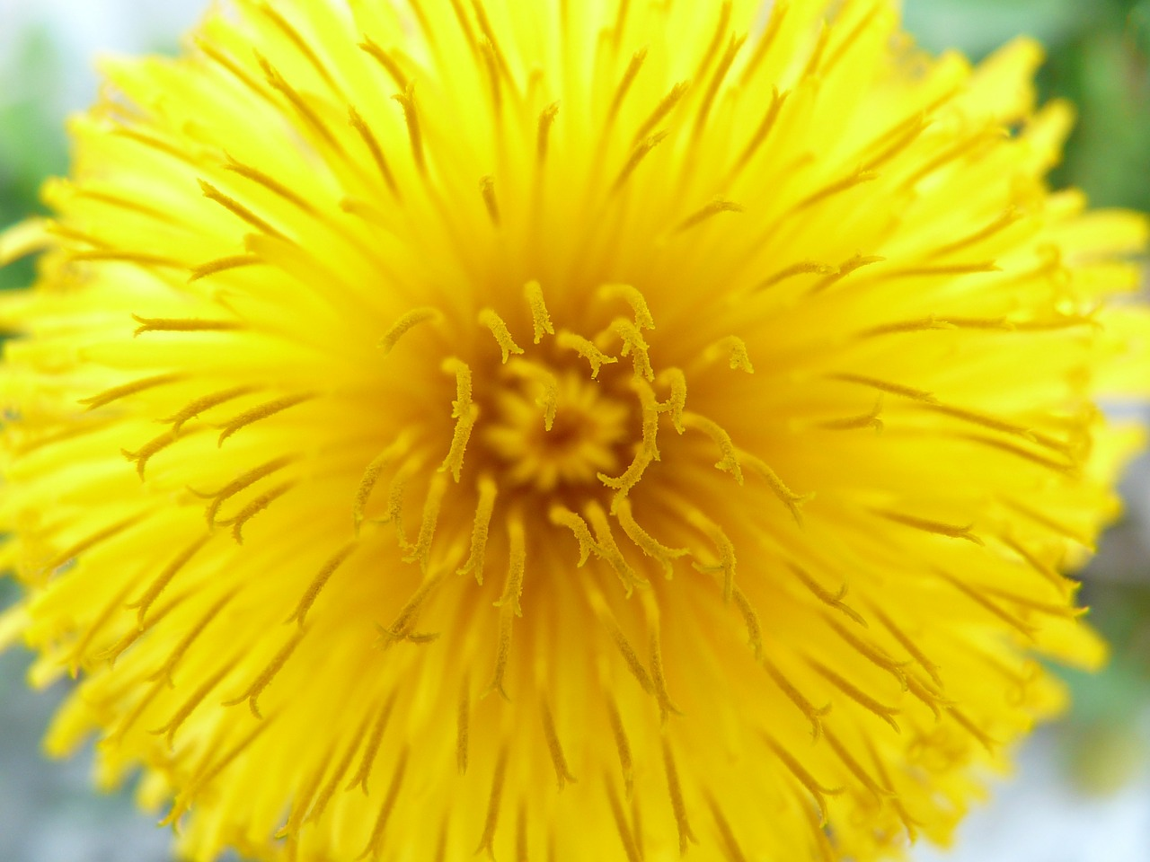 dandelion flower blossom free picture