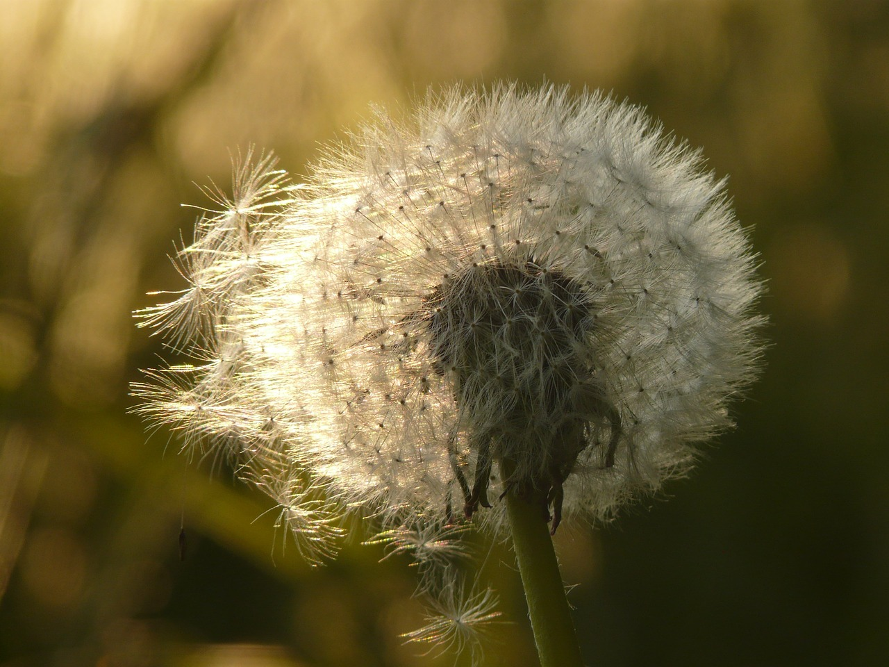 dandelion seeds flower free photo
