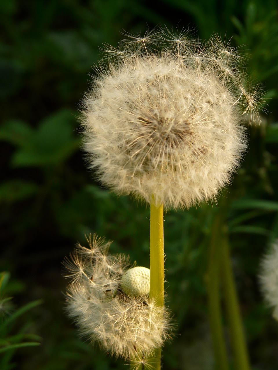 dandelion seeds flower free picture