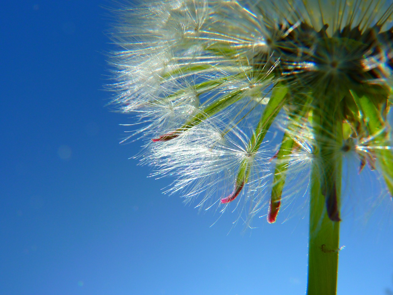 dandelion,seeds,plant,sky,free pictures, free photos, free images, royalty free, free illustrations, public domain