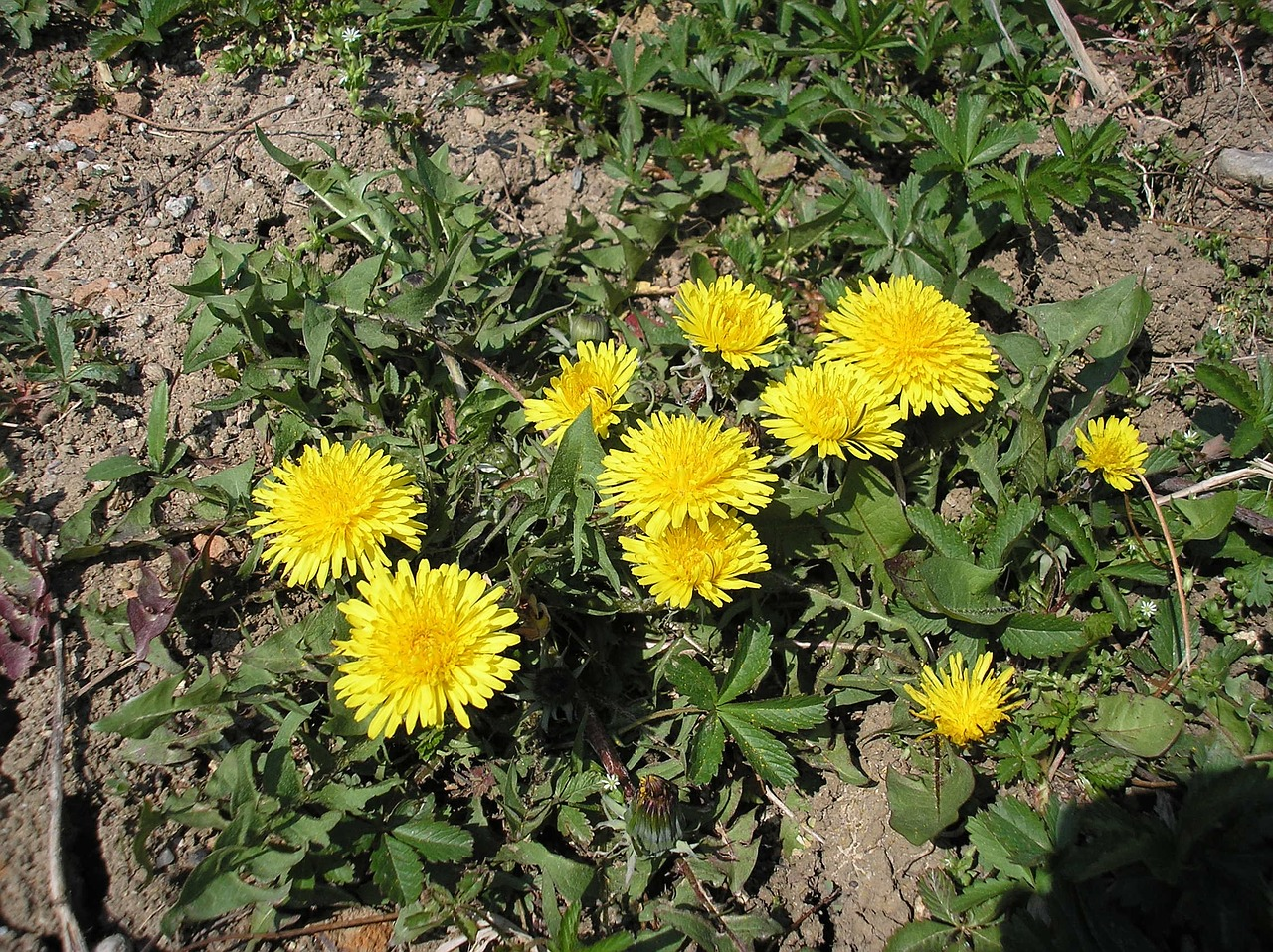 dandelions,yellow,nature,dandelion,meadow,weed,weeds,environment,rural,flowers,outdoors,free pictures, free photos, free images, royalty free, free illustrations, public domain