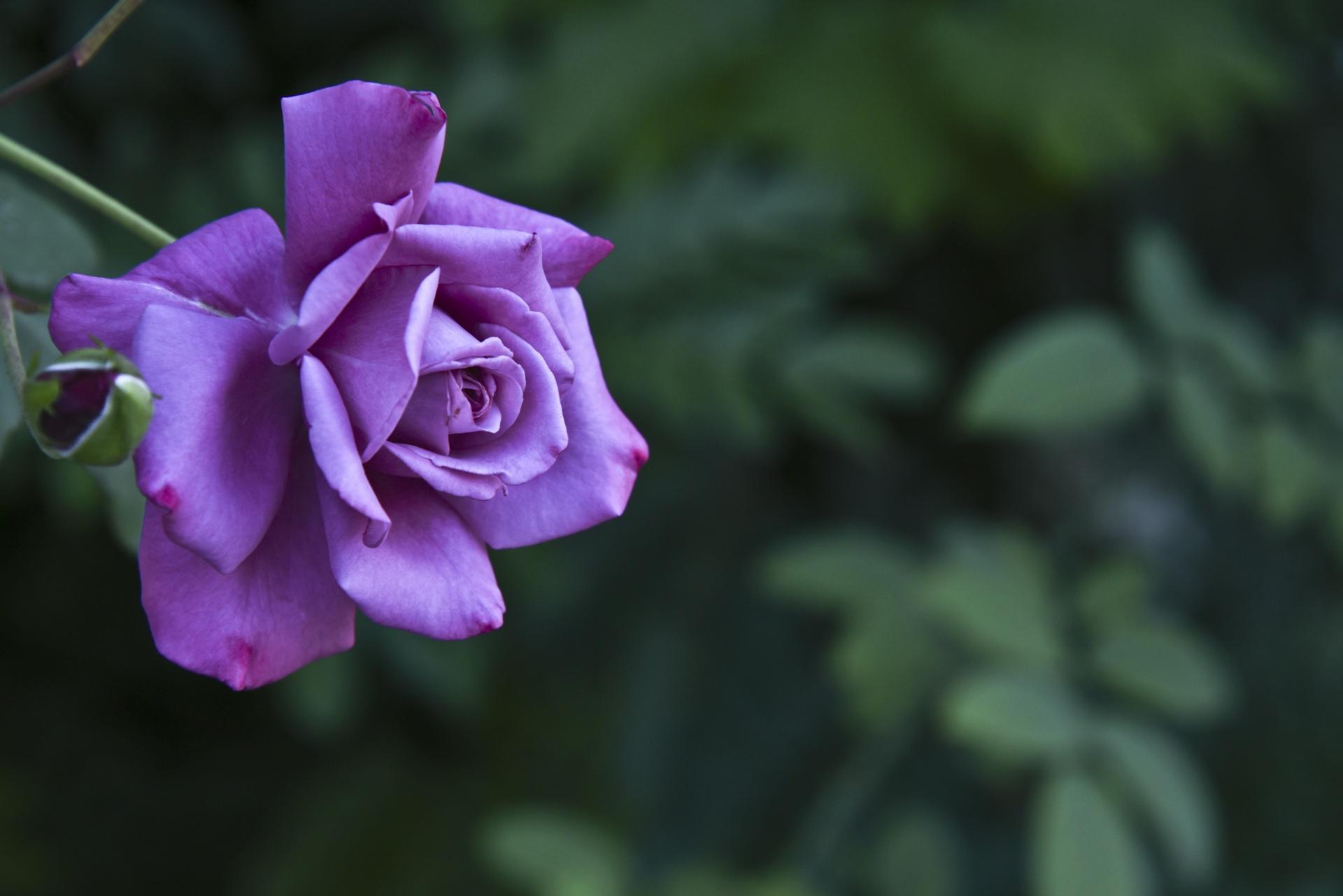 dark pink roses - HD1920×1281