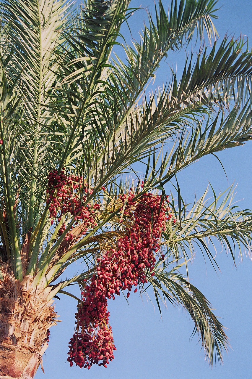 date palm phoenix palm genus free photo