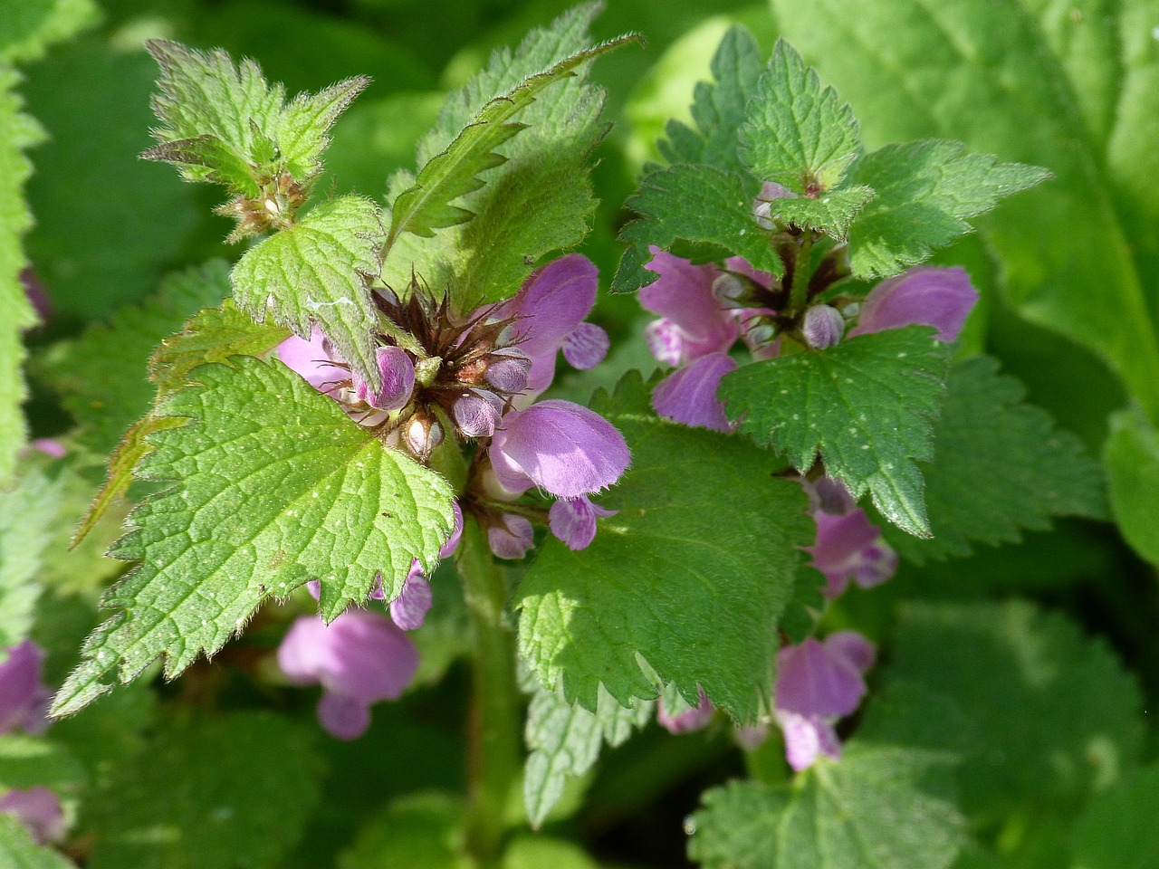 dead nettle violet spring free photo