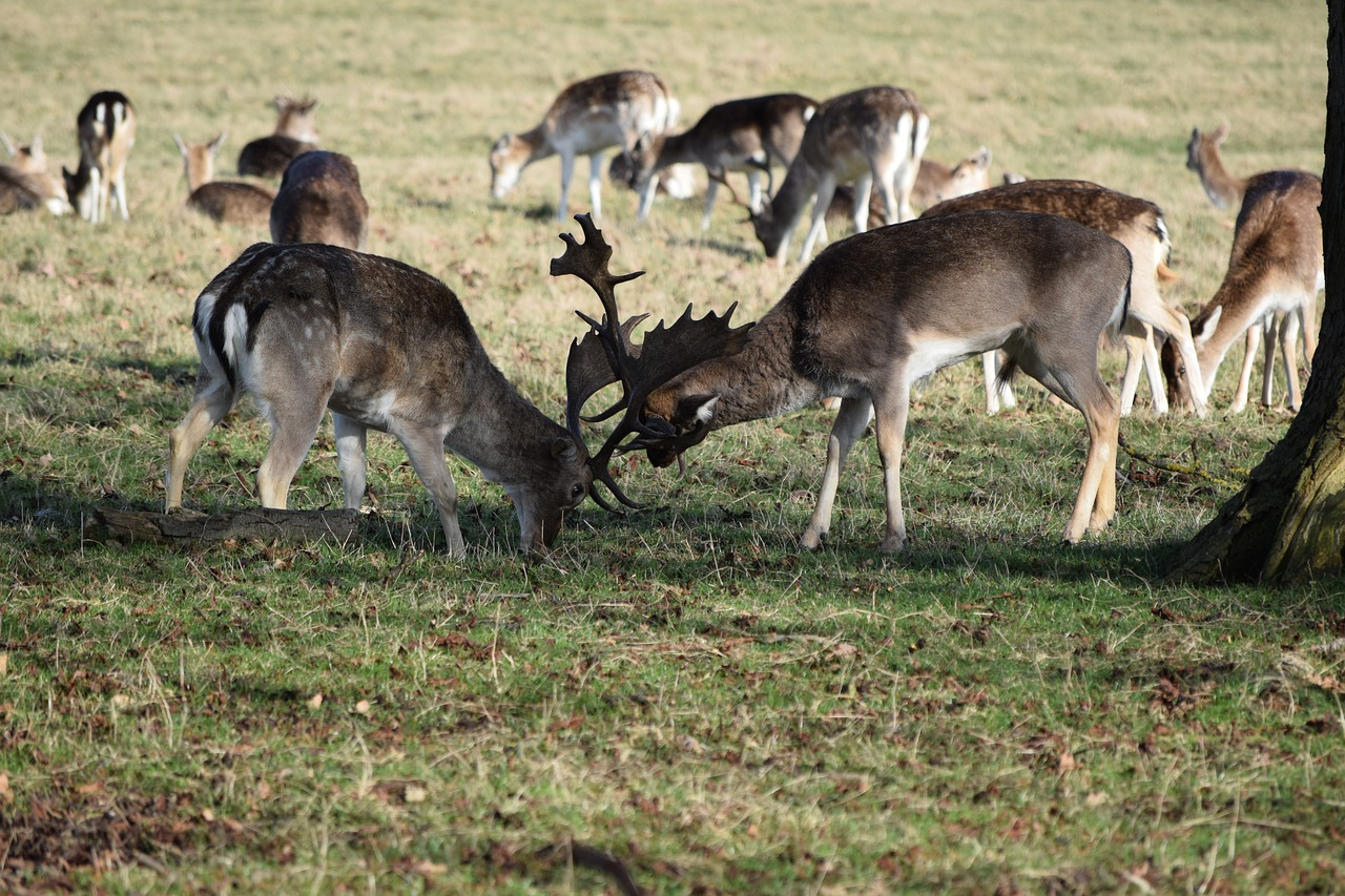deer fight nature free photo