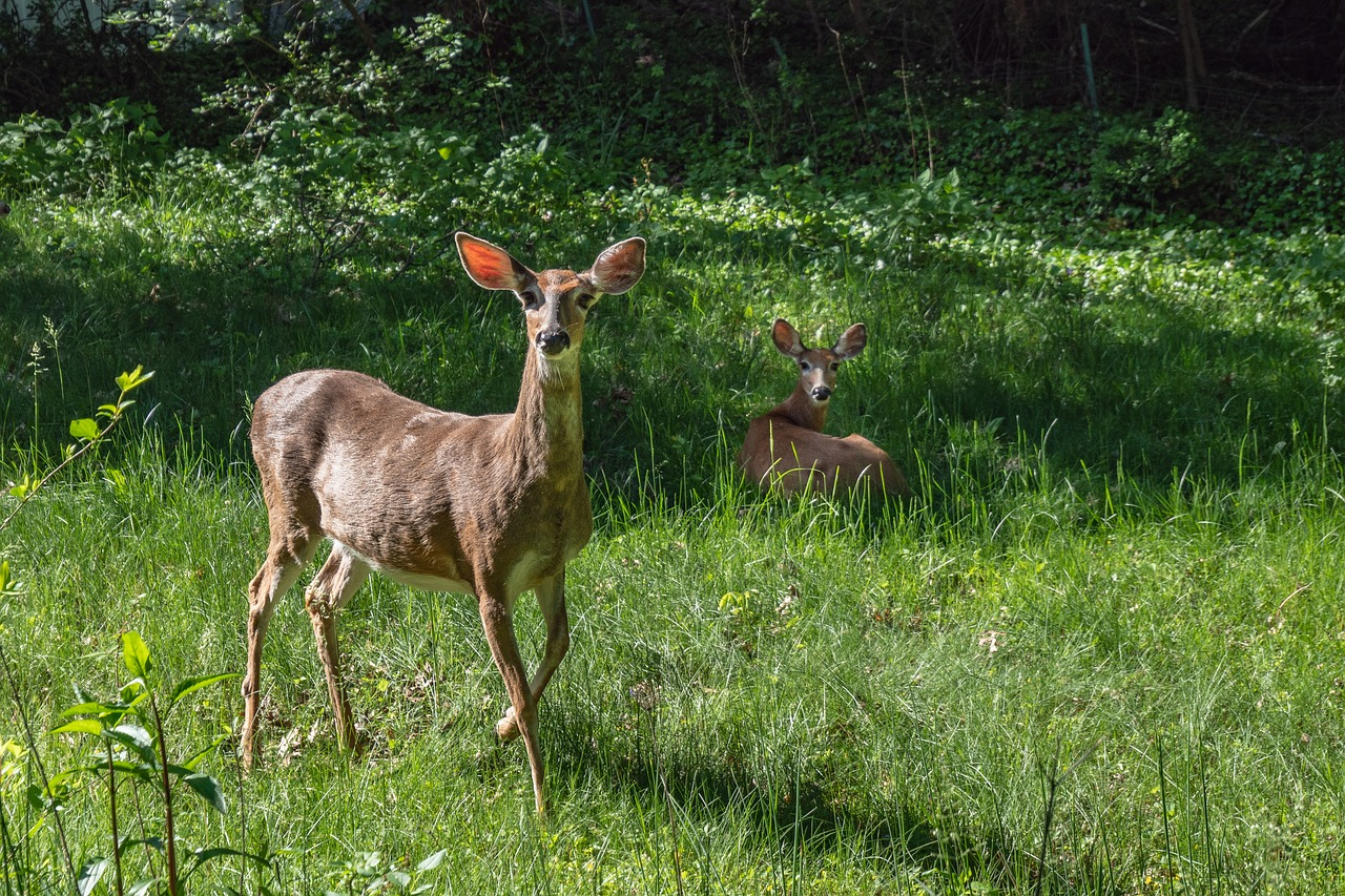 deer, spring, animal, family,free pictures, free photos, free images, royalty free, free illustrations, public domain