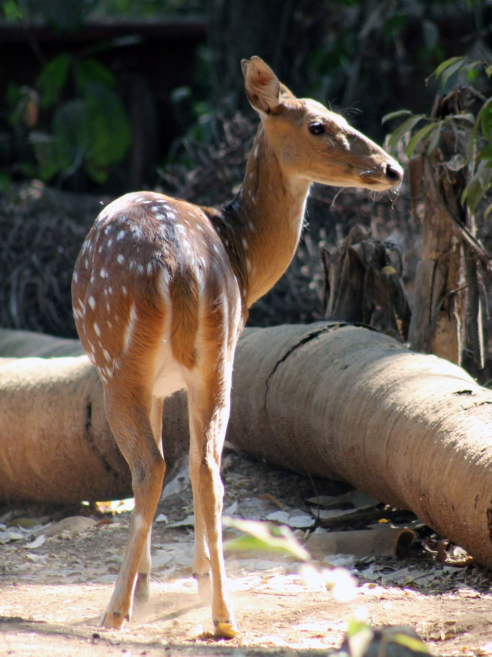 deer face animal free picture