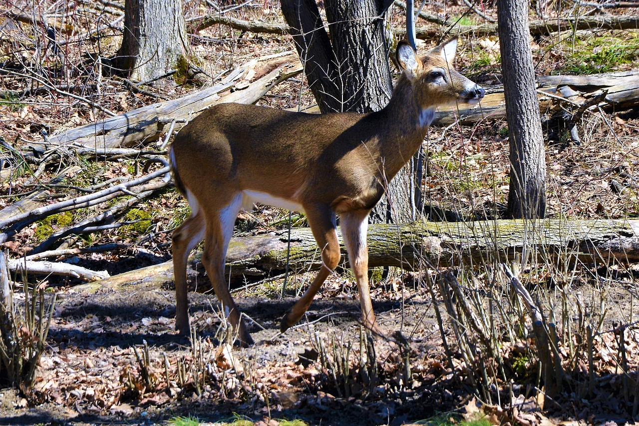 deer  buck  whitetail free photo