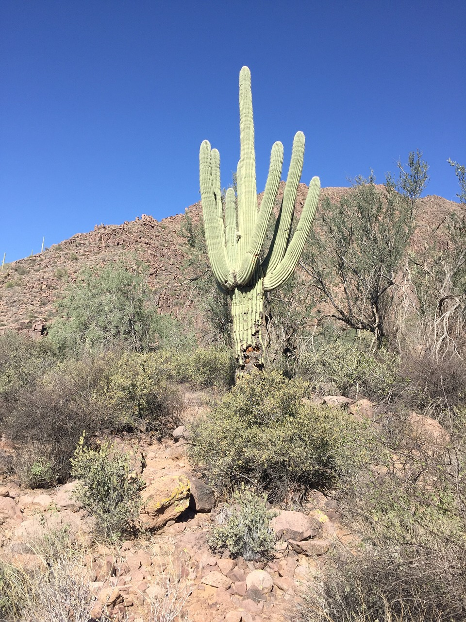 desert,cactus,arizona,nature,landscape,saguaro,desert landscape,southwest,arizona desert,outdoor,scenic,southwestern,wilderness,free pictures, free photos, free images, royalty free, free illustrations, public domain