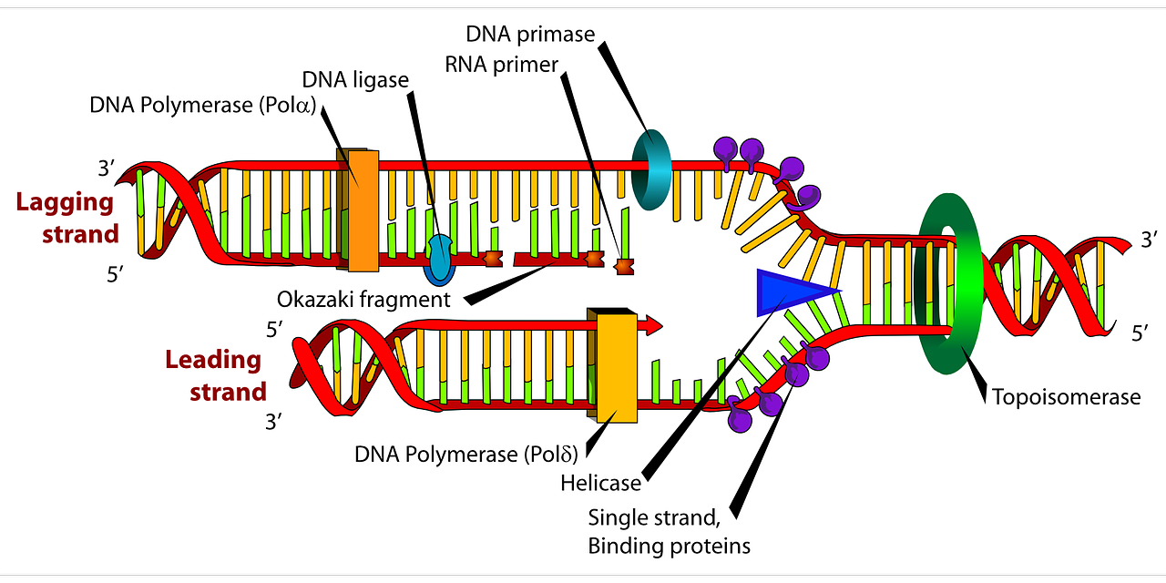 diagram dna biology free picture