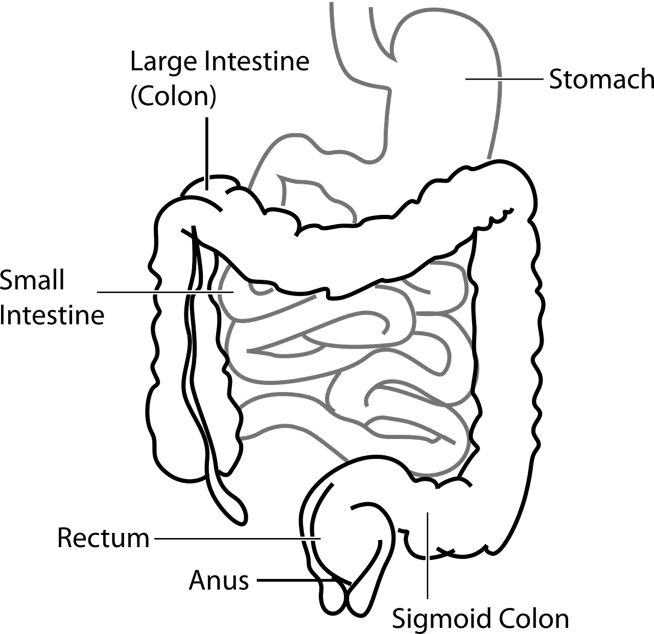 diagram digestive system free photo