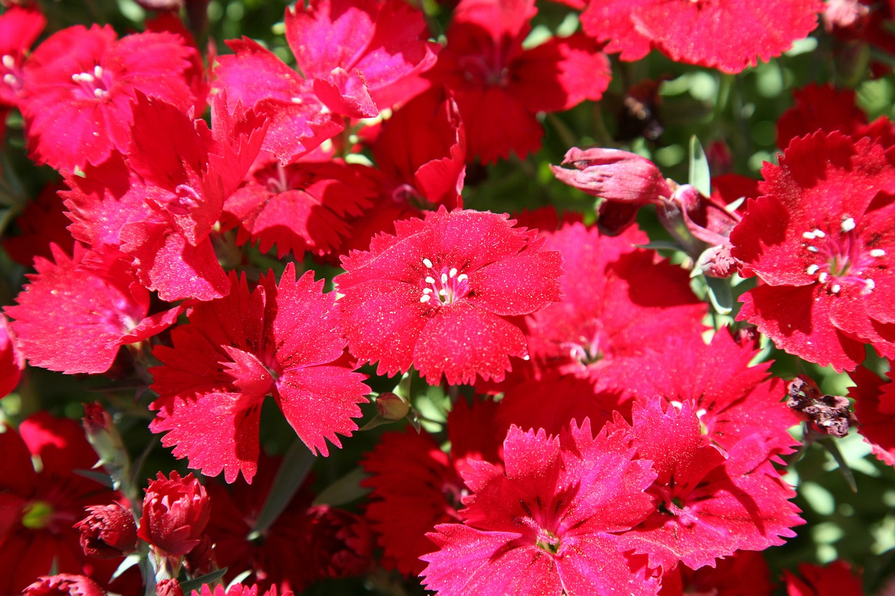 dianthus flower carnation flowers free photo