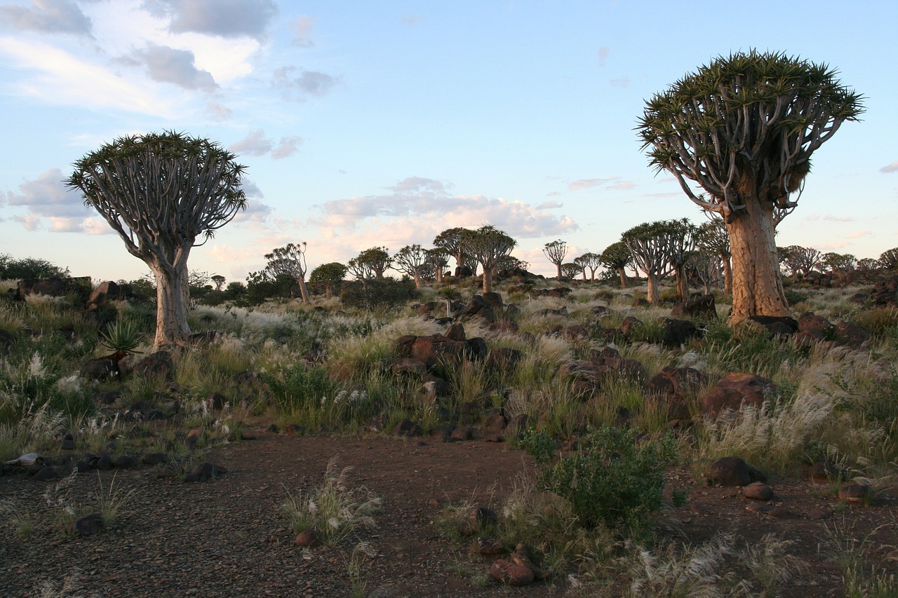 dichotoma aloe trees free photo