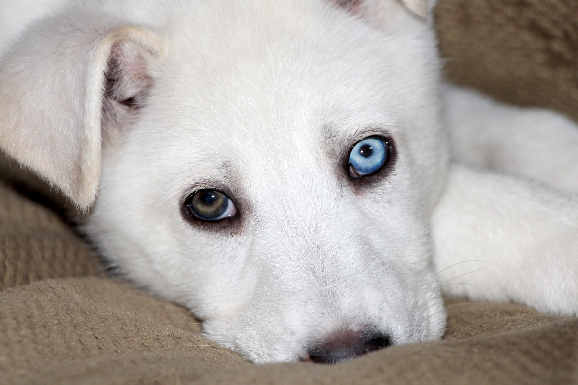 Blue eye,brown eye,husky,puppy,eyes - free photo from