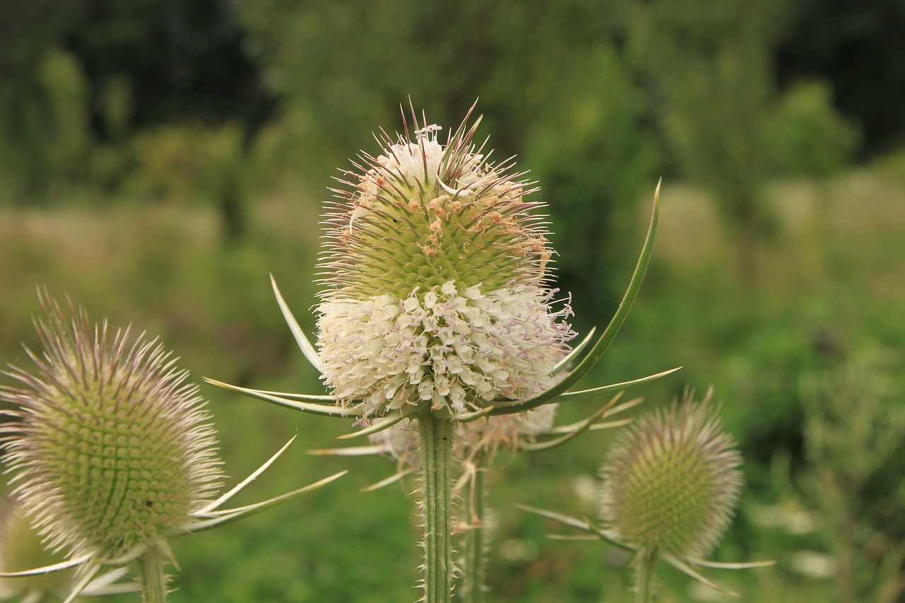 dipsacus flower-head flowers free photo