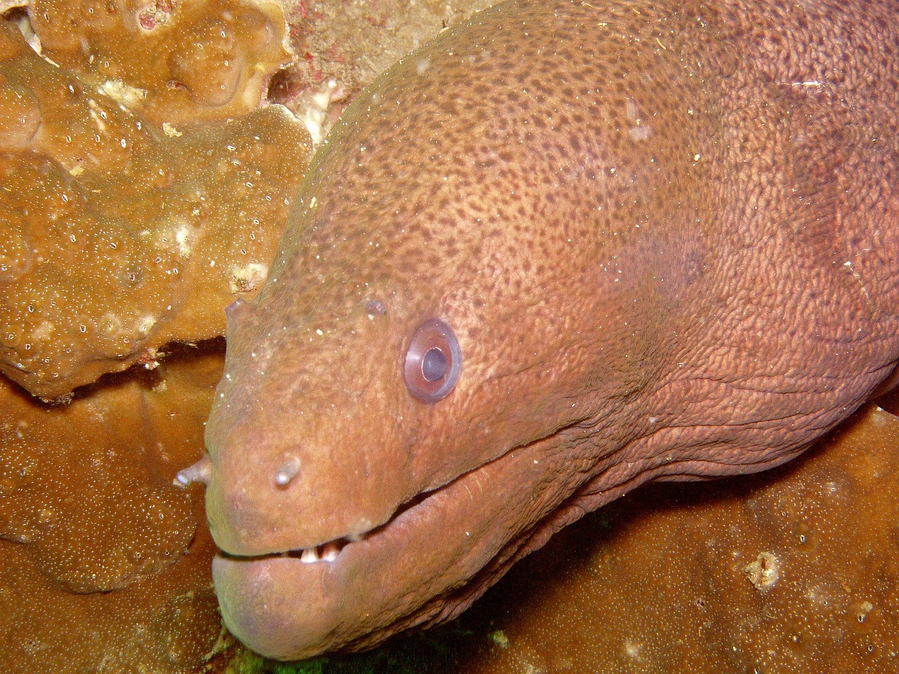 diving moray giant moray free photo