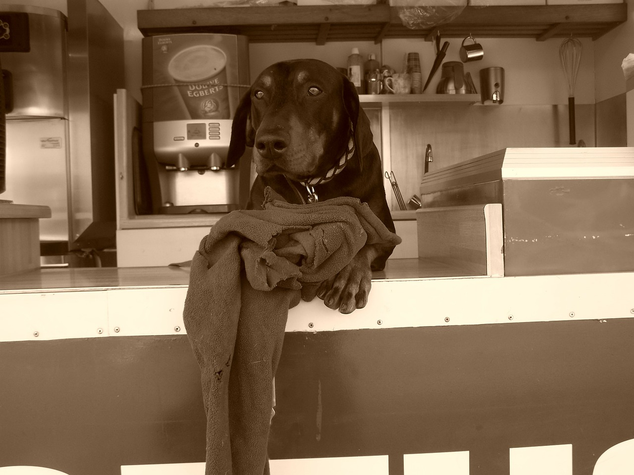doberman dog snack free picture