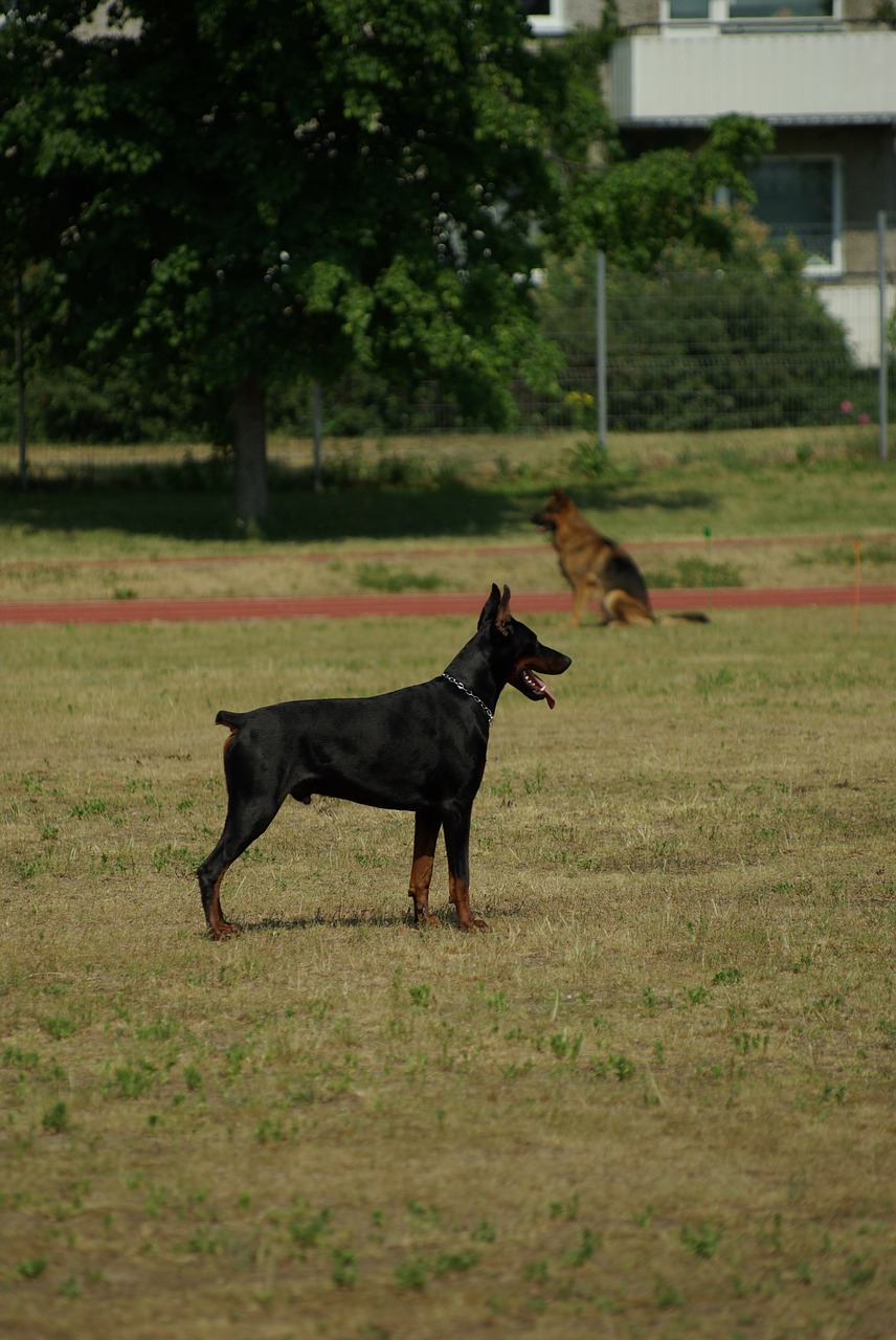 doberman dog animal free photo