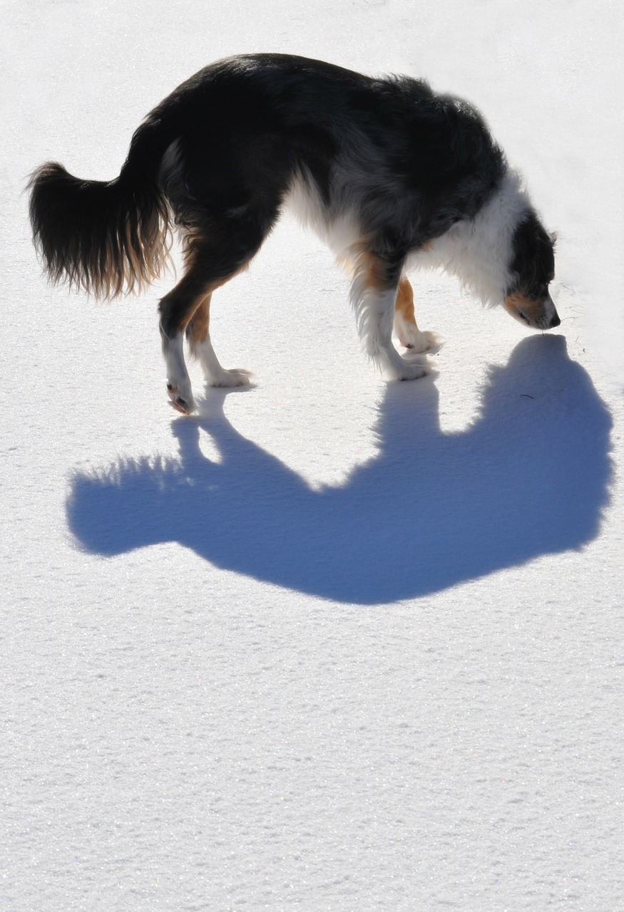 dog shadow animal free photo