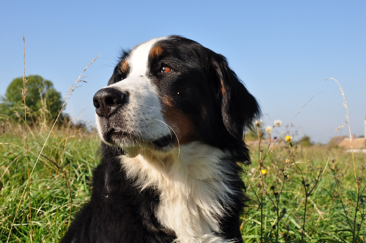 dog,bernese mountain dog,animal,nature,family,big dog,fields,field,free pictures, free photos, free images, royalty free, free illustrations, public domain