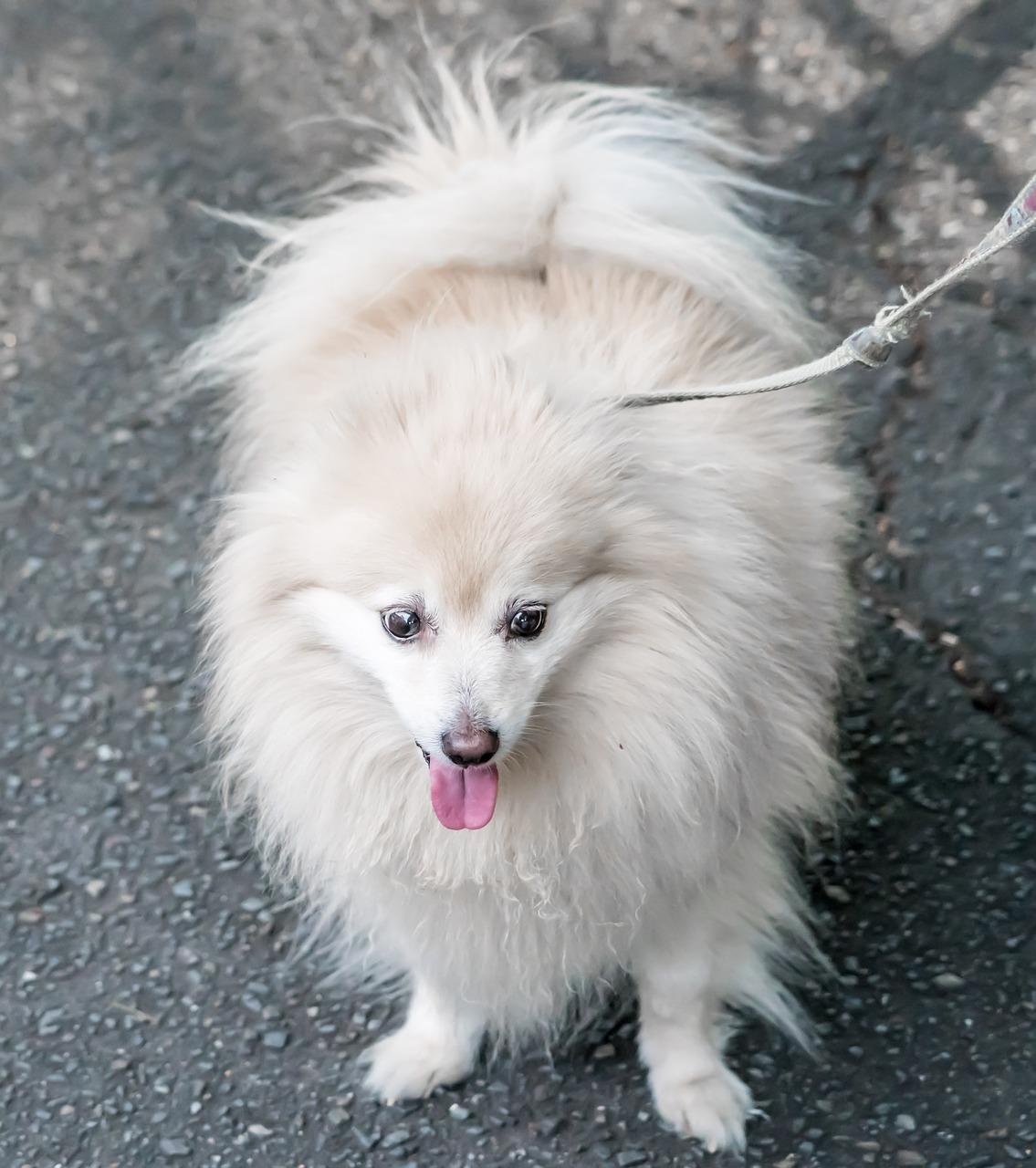 Dog Pomeranian White Cute Pet Free Photo From Needpix Com