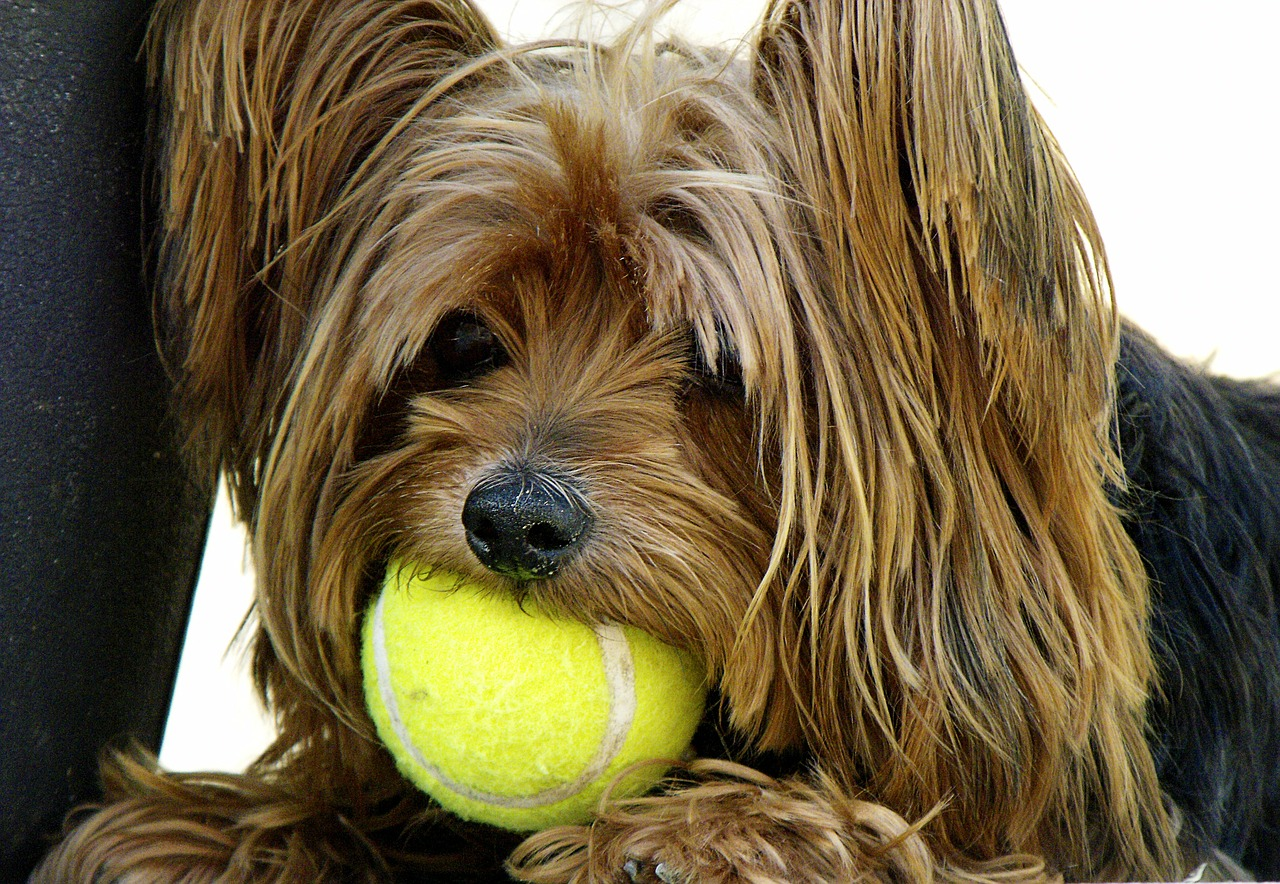 dog yorkshire terrier tennis ball free photo