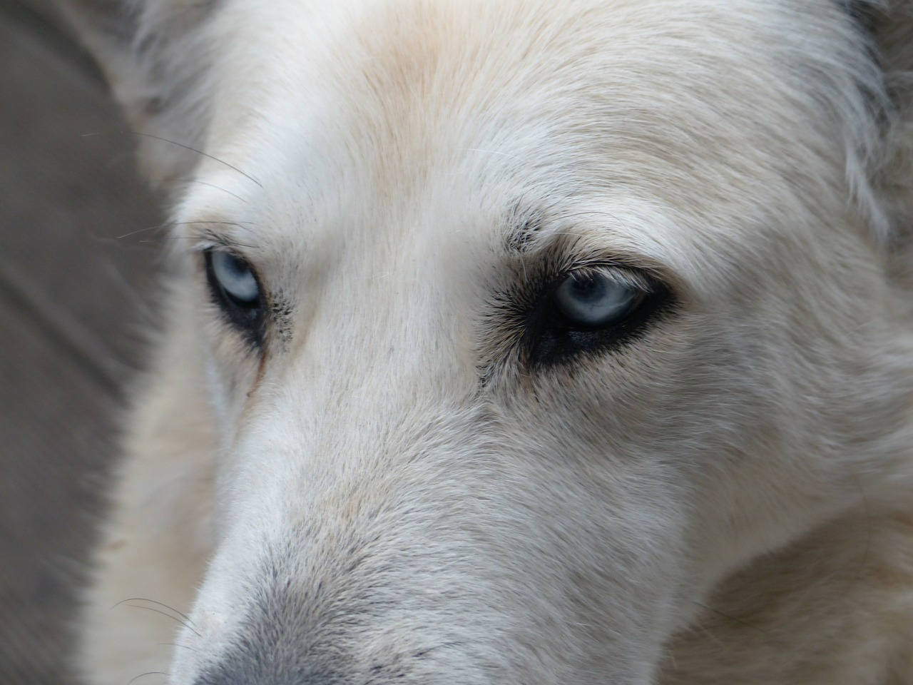 dog white face free photo