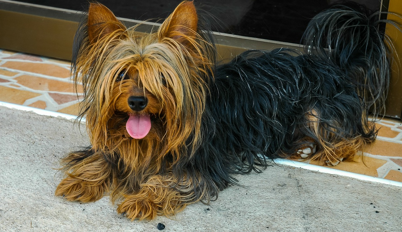 dog yorkshire terrier lying dog free photo