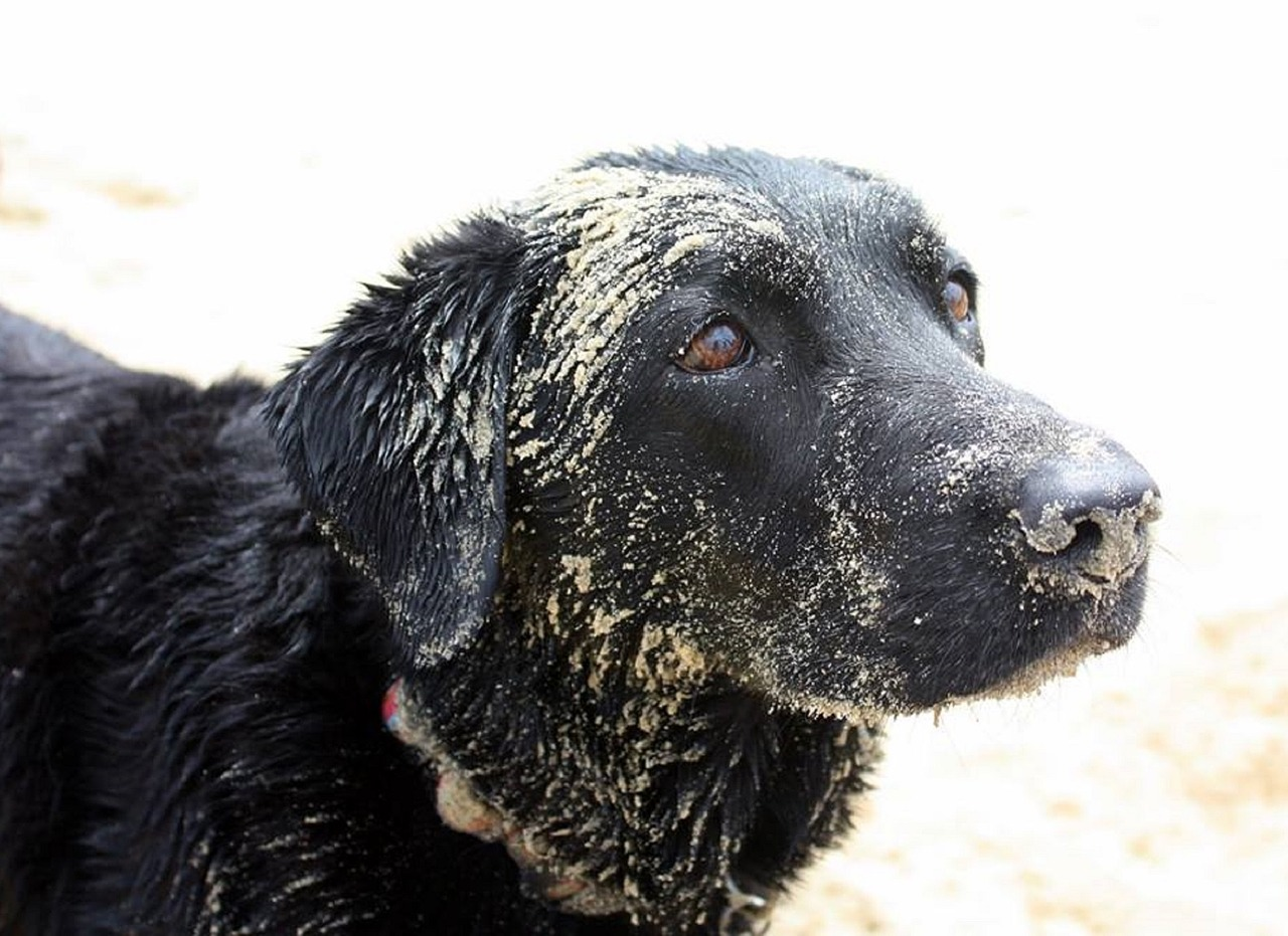 dog labrador sand free photo