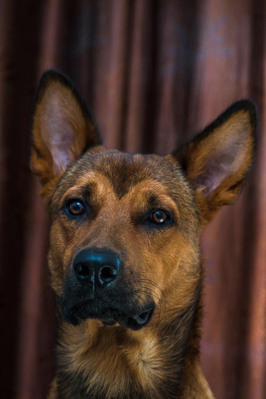 Download Free Photo Of Dog Puppy Brown Studio Pet From Needpix Com