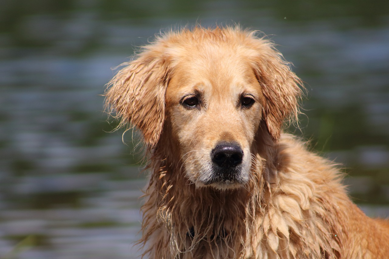dog wet dog golden retriever free picture