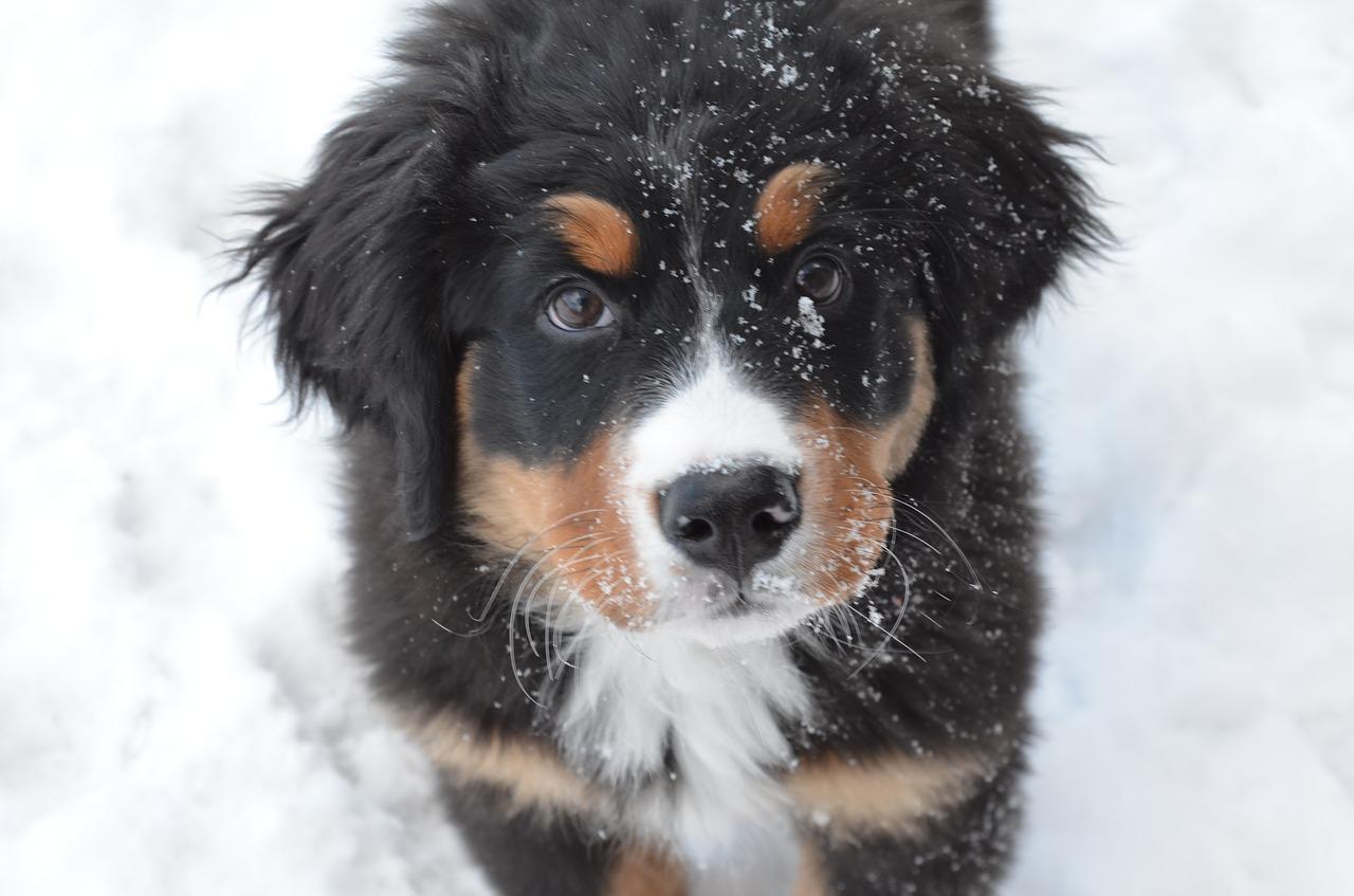 Dog Puppy Bernese Mountain Dog Snow Bernese Free Image From Needpix Com