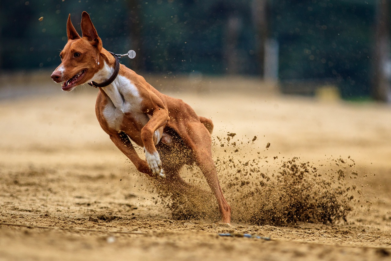 dog, dog racing, animal, race, run, sport, greyhound racing, pet photography, hundesport, racecourse,free pictures, free photos, free images, royalty free, free illustrations, public domain