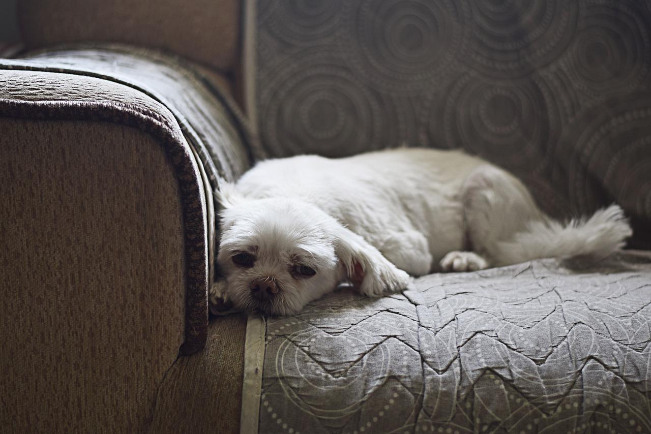 Dog, pet, animal, couch, sofa - free image from needpix.com