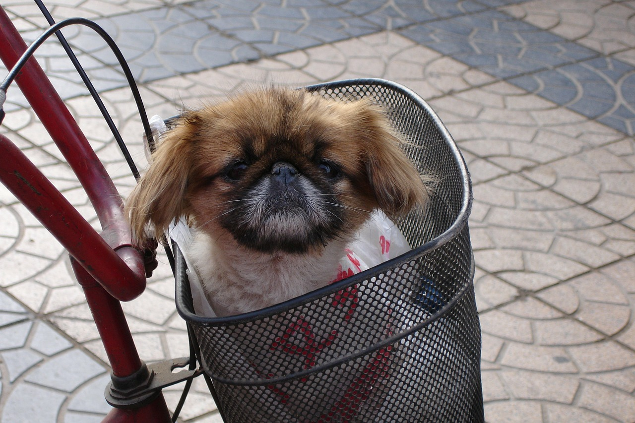 dog pekinese animal free photo