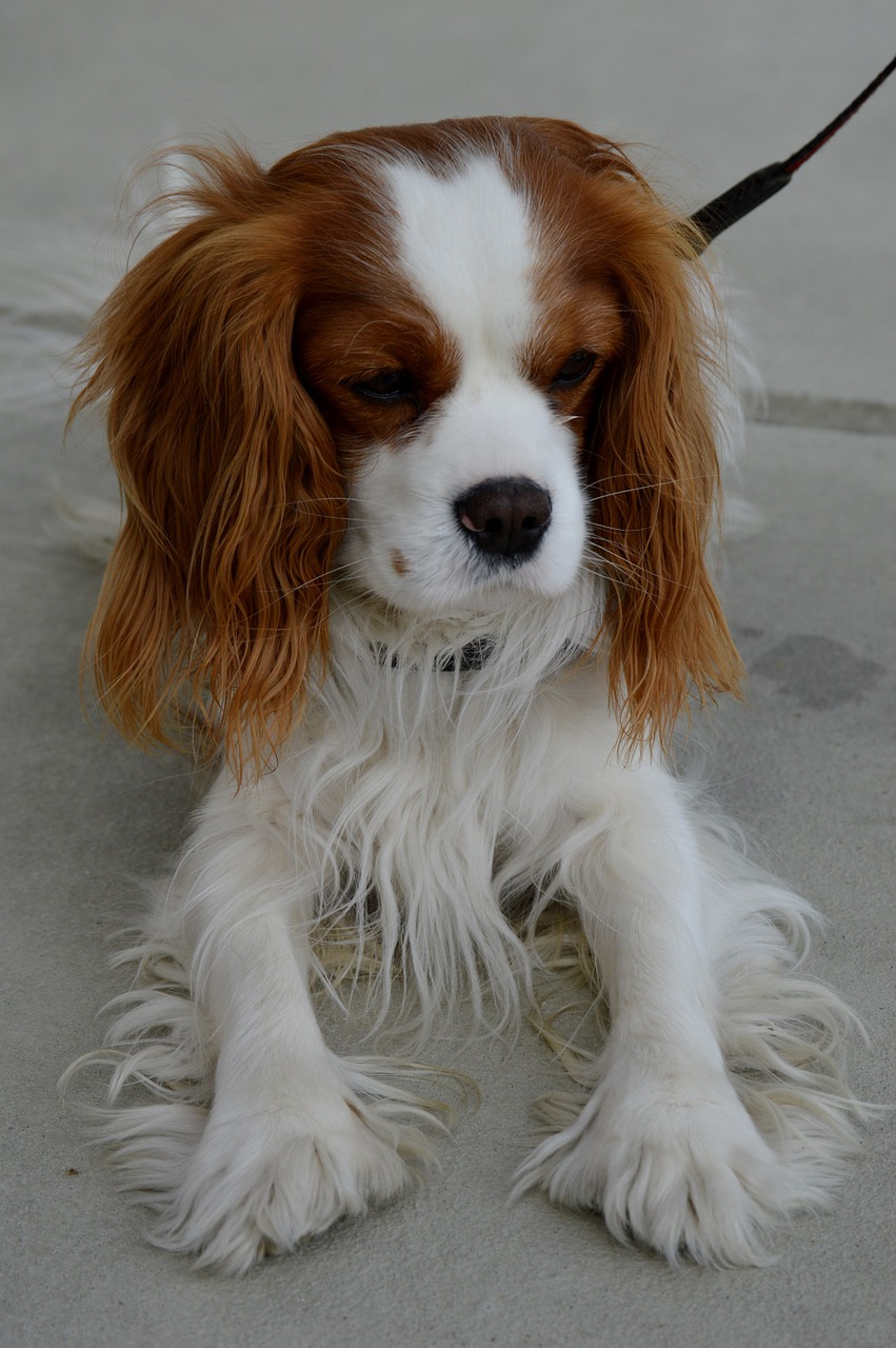 dog cavalier king charles spaniel funny free photo