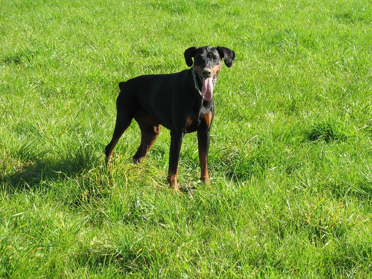 dog,doberman,meadow,free pictures, free photos, free images, royalty free, free illustrations, public domain