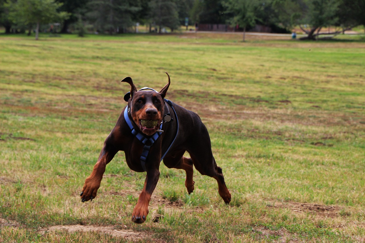 dog doberman pet free photo