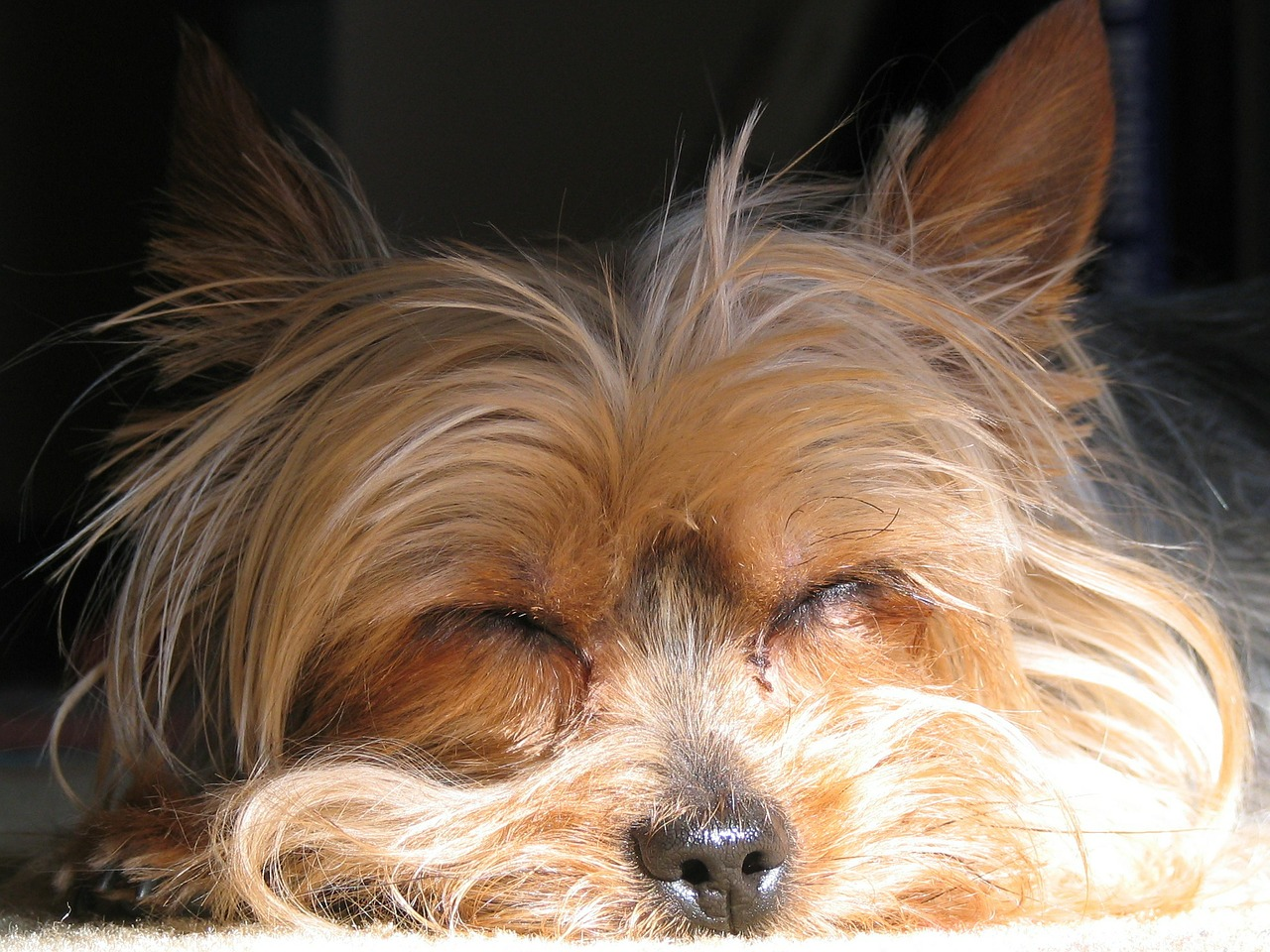 dog yorkshire terrier yorkie free photo