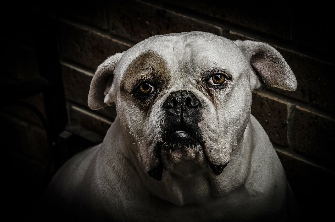 dog animal boxer free photo
