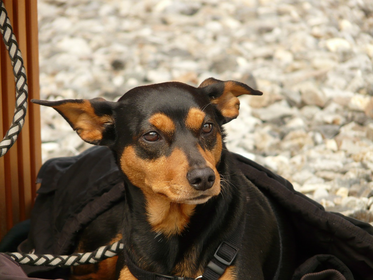 dog pinscher animal free photo